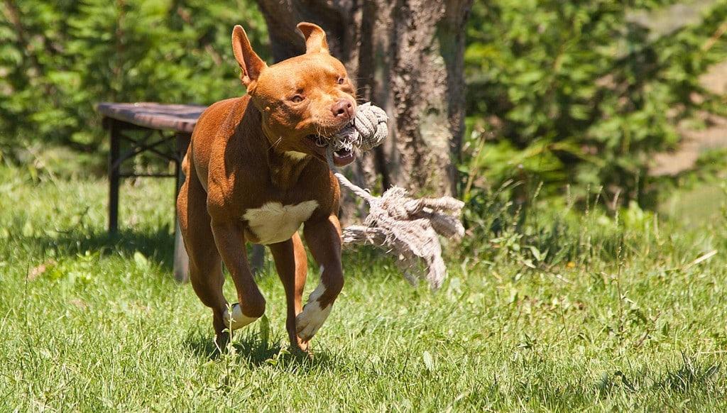 Pitbull marrone corre mordendo un gioco, nome Blu, allevamento Pitbull Reserve