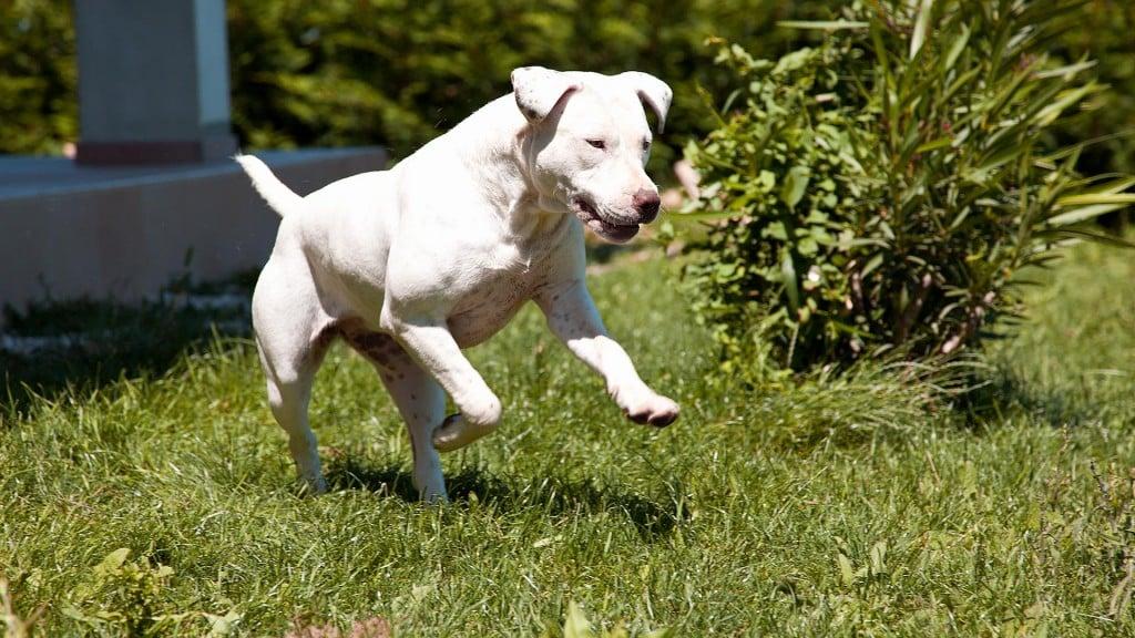 Pitbull bianco in corsa, mila, allevamento Pitbull Reserve