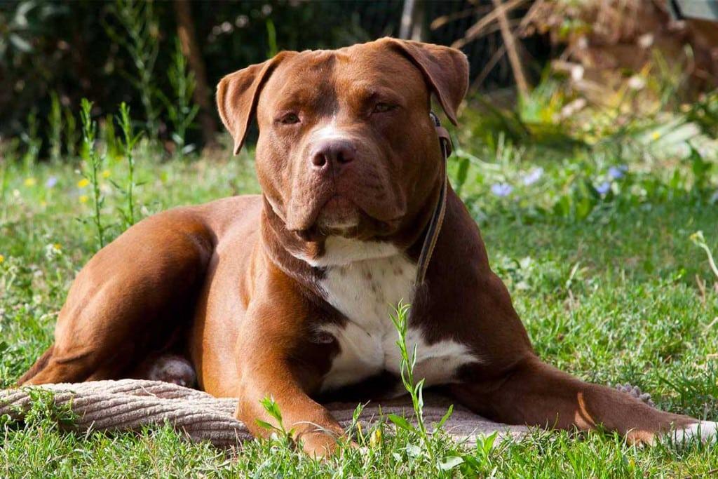Ascher-american-pitbull-terrier-ukc-o