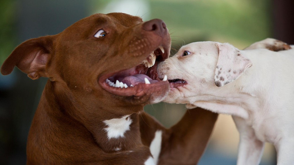 Pitbull gioca con cucciolo