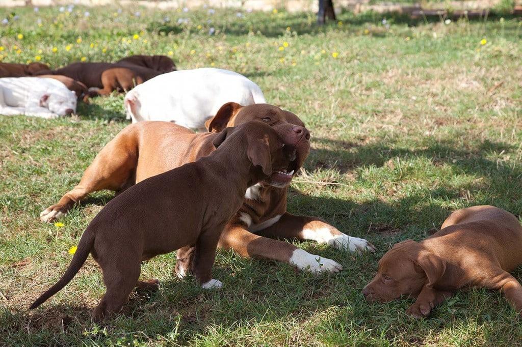 cuccioli pitbull con il papà giocano