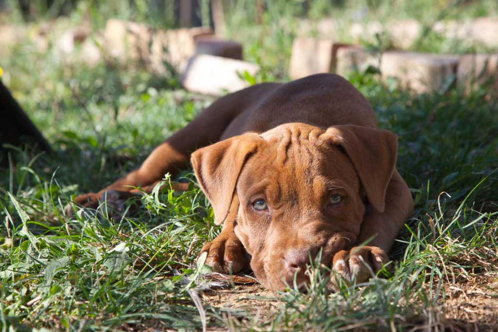 trudy american pitbull terrier