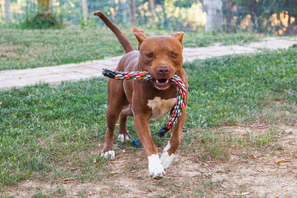 Blu, american pitbull terrier, allevamento Pitbull Reserve