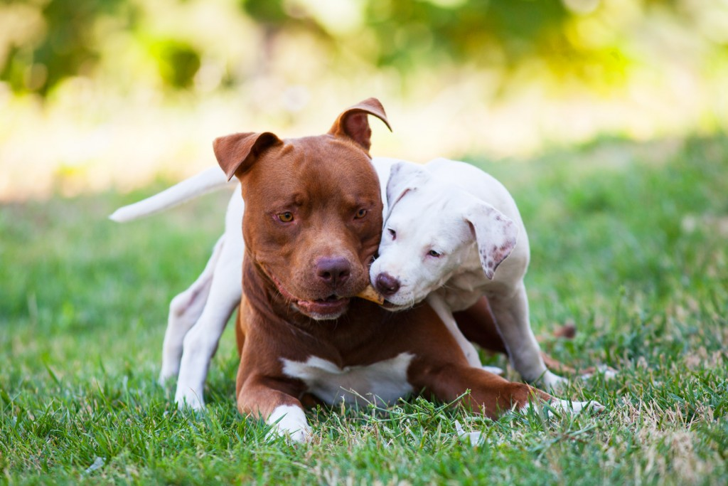 blu-mila-american-pitbull-terrier