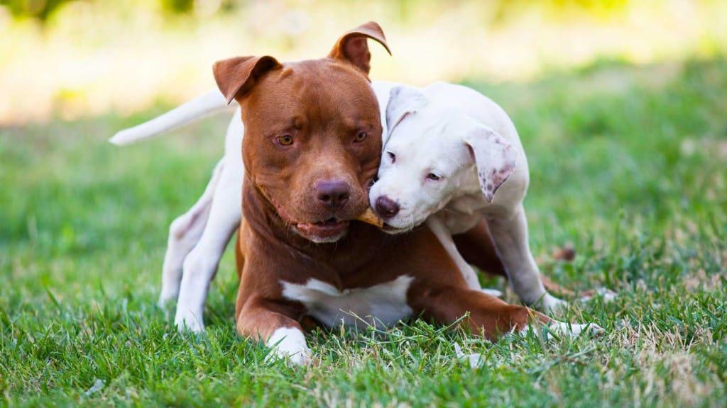Blu e Mila American Pitbull Terrier red nose Cioccolato e bianco