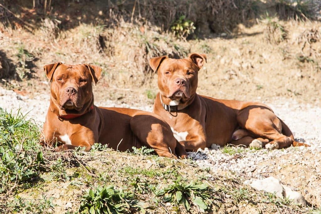pitbull red nose pedigree