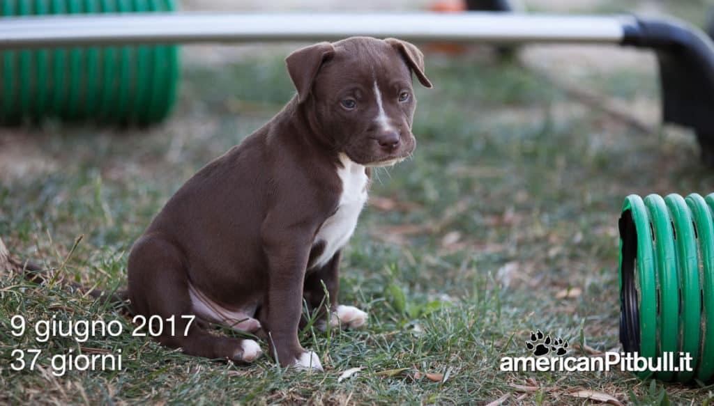 cuccioli-pitbull-2017-6571