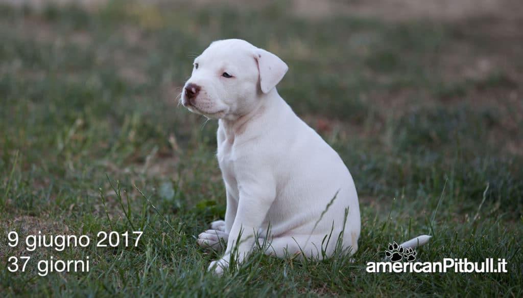 cuccioli-pitbull-2017-6595