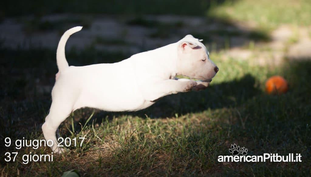cuccioli-pitbull-2017-6768