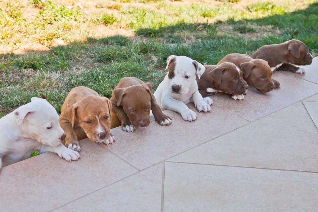 cuccioli in vendita di american pitbull terrier