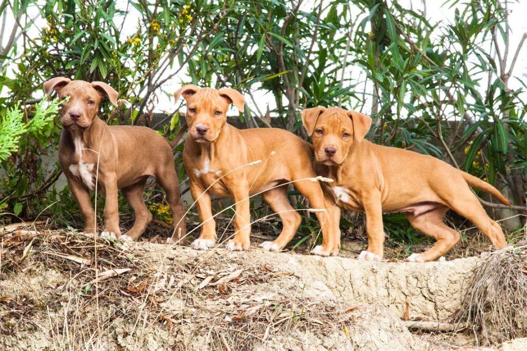 cuccioli american pit bull terrier