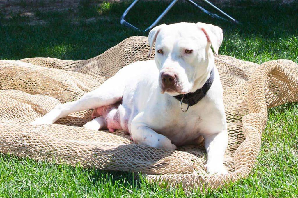 Mamma Mila - American Pit Bull Terrier
