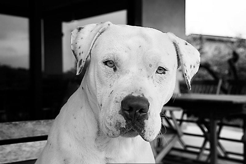 mila-pitbull-bianco- rednose
