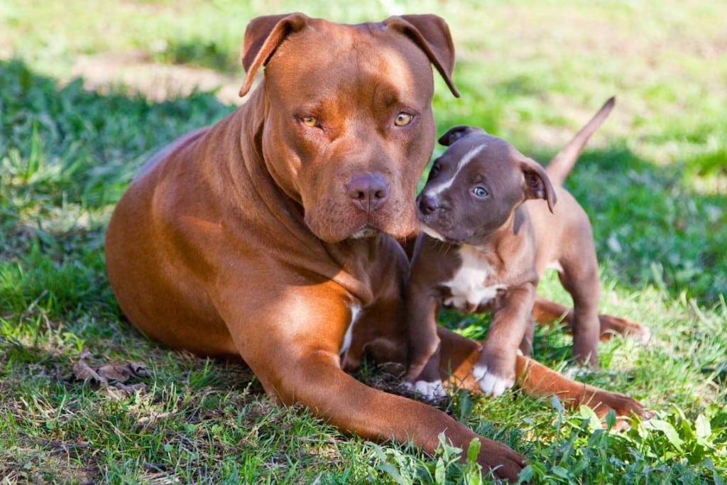 Femmina american pitbull terrier con cucciolo red nose, colore cioccolato