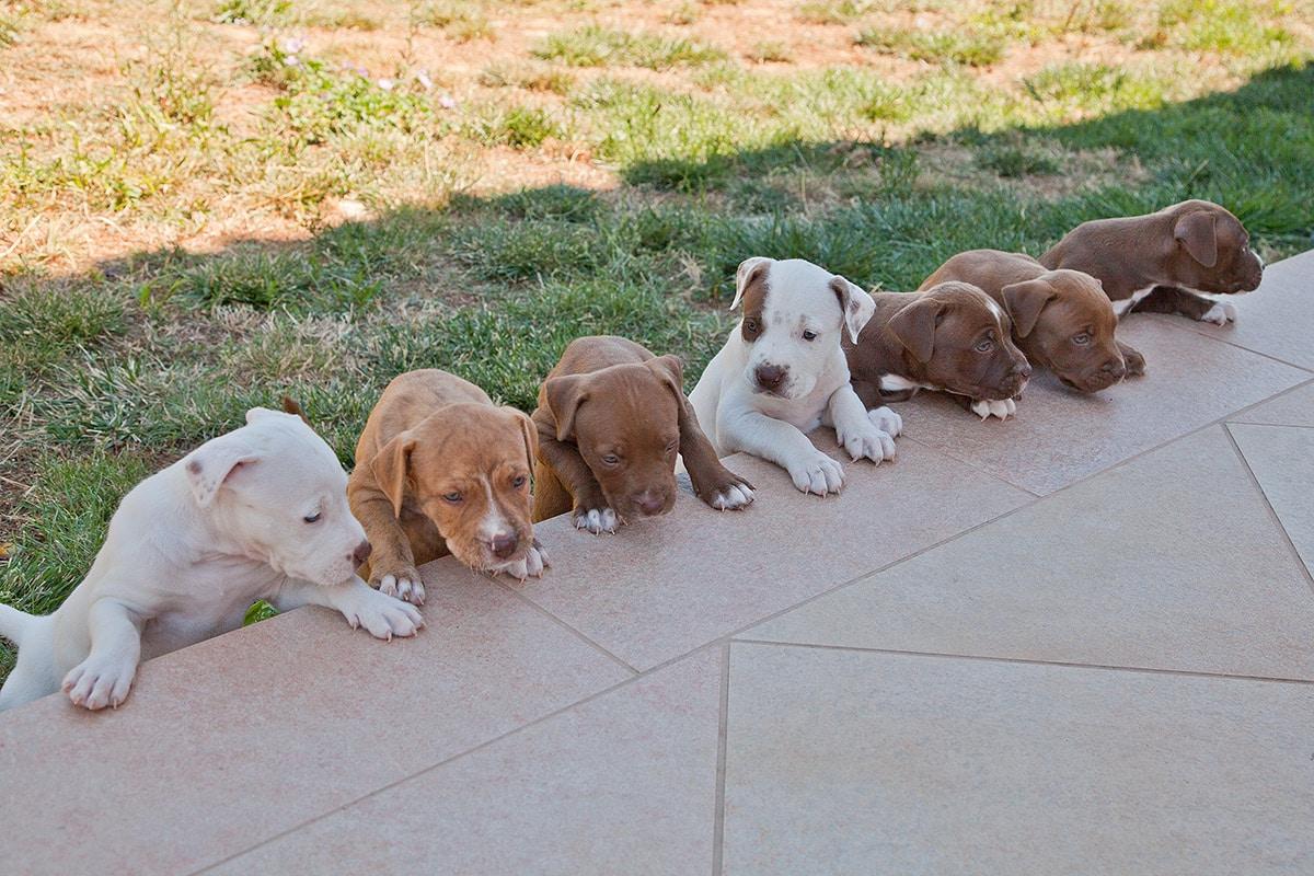 cuccioli american pitbull terrier in fila