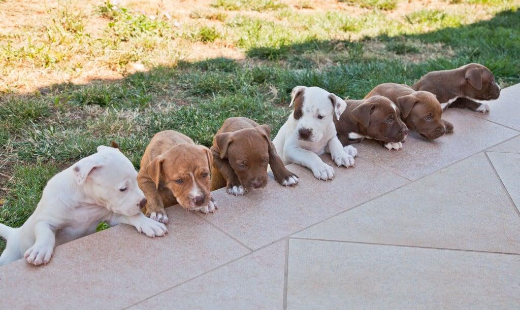 cuccioli-pitbull-in-vendita