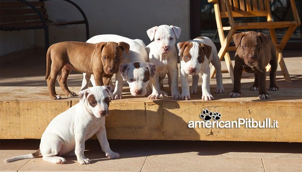 cuccioli american pitbull terrier 2014