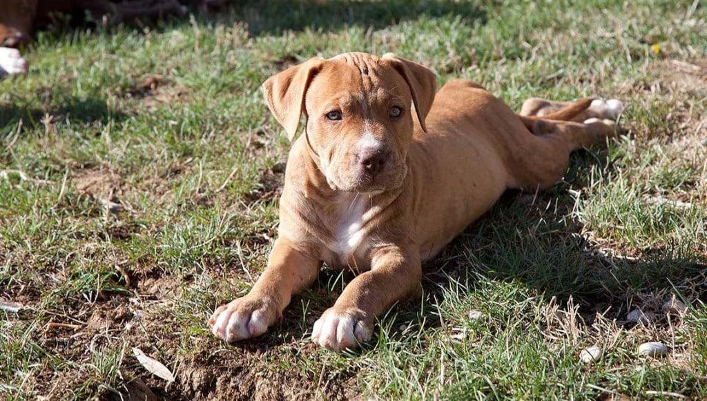 cucciolo Pitbull sdraiato nel prato