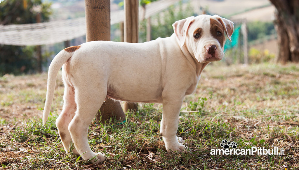 cucciolo bianco e tigrato american pitbull terrier