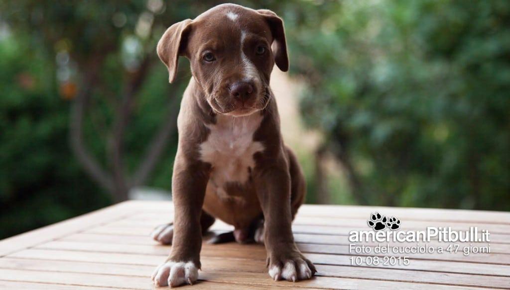 cucciolo american pitbull terrier maschio cioccolato