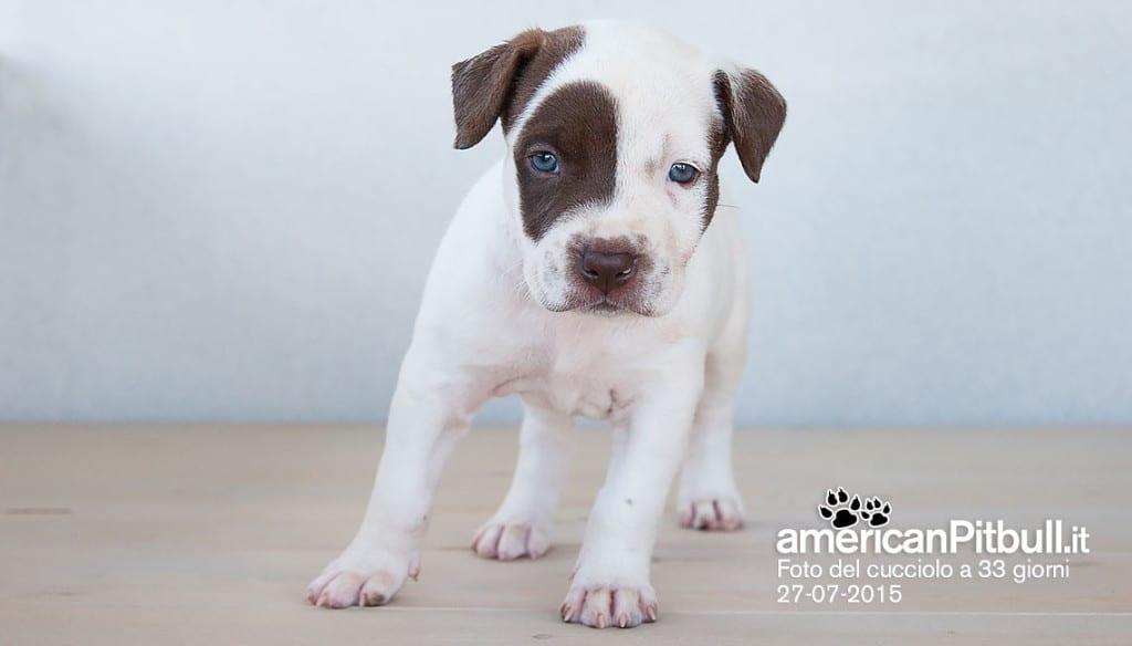 cucciola american pitbull terrier bianca con macchia marrone