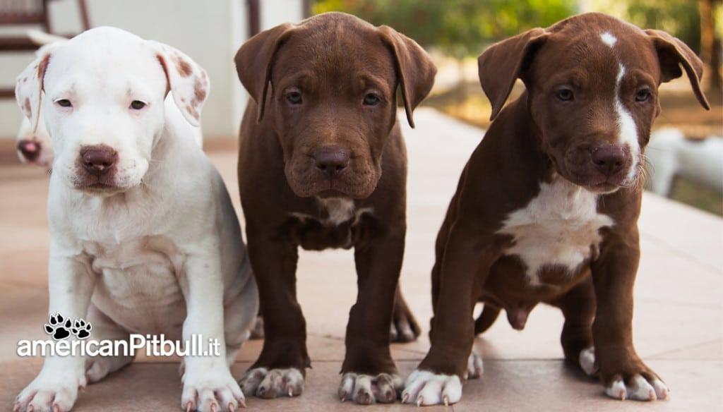 cucciolo cioccolato american pitbull terrier
