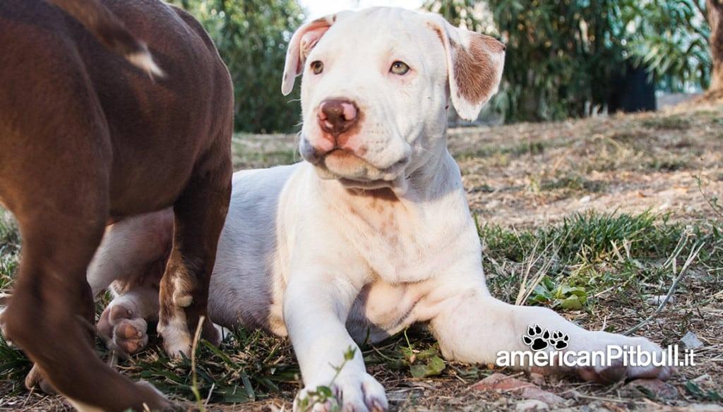 cucciolo bianco american pitbull terrier red nose
