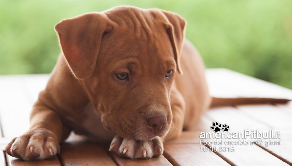 cucciolo tigrato american pitbull terrier red nose
