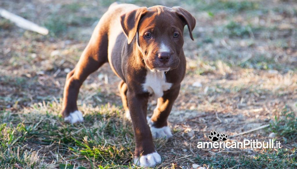 cucciolo cioccolato american pitbull terrier red nose