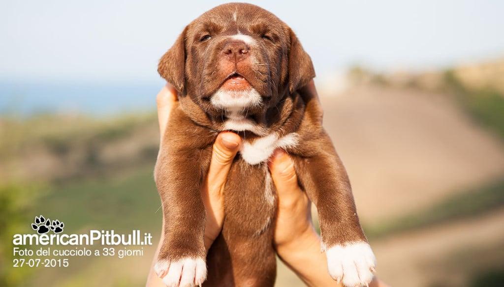 cucciolo marrone american pitbull terrier red nose