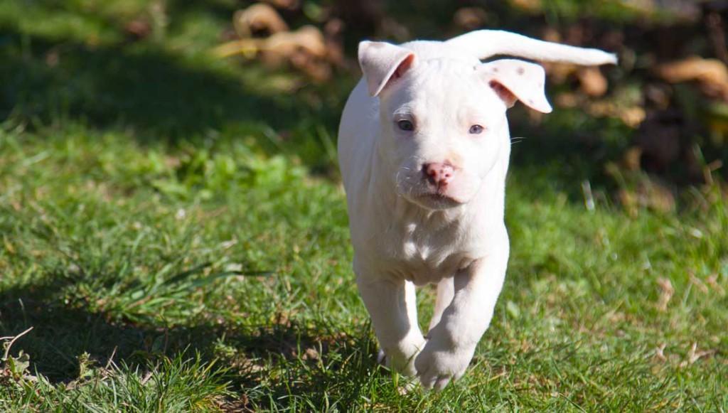 cucciola bianca american pitbull terrier