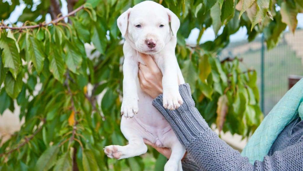 cucciolo-american-pitbull-bm15-3149