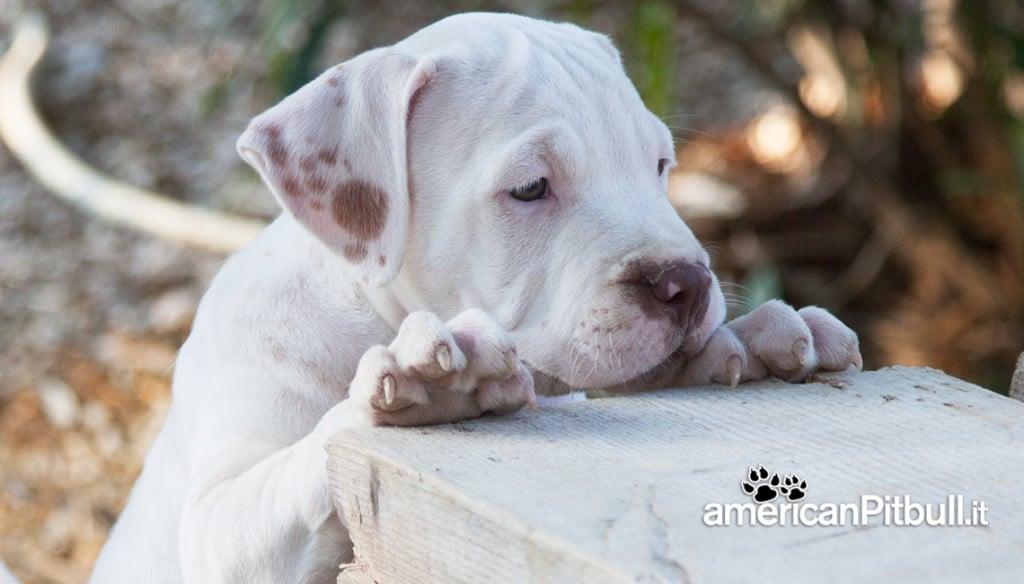 cucciolo bianco maschio american pitbull terrier red nose