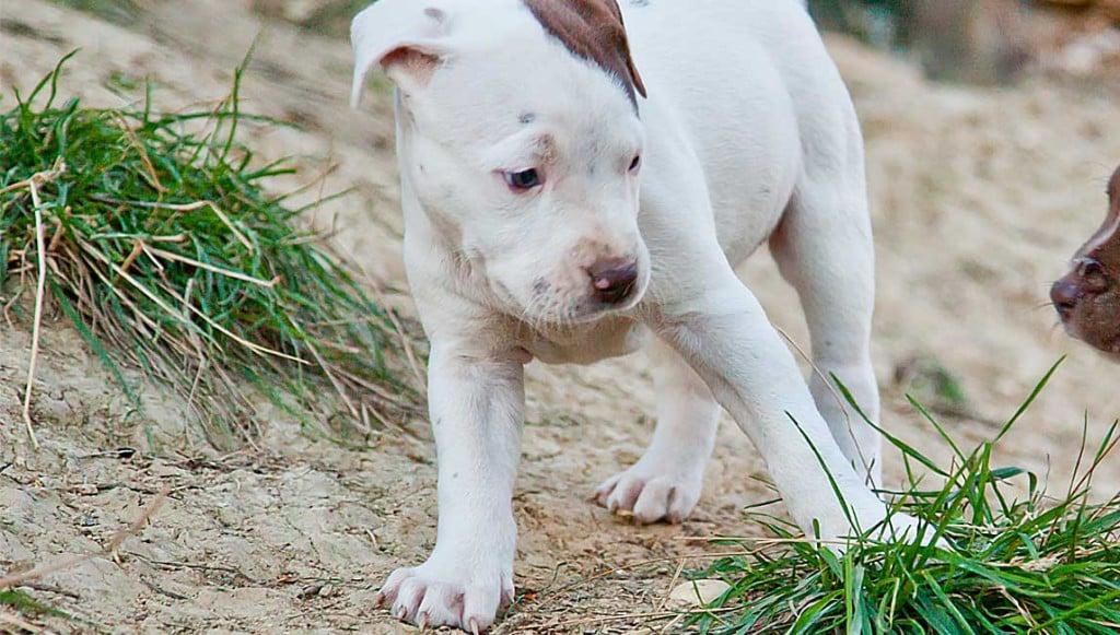 pitbull reserve oxa