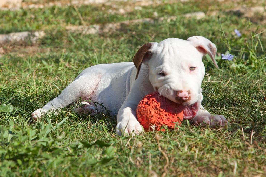 cucciolo pitbull bianco e marrone sdraiato a terra che gioca mordendo una pallina rossa