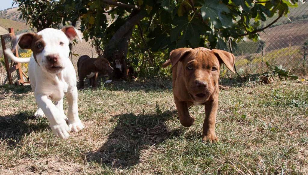 trudy-pitbull-2013-1964
