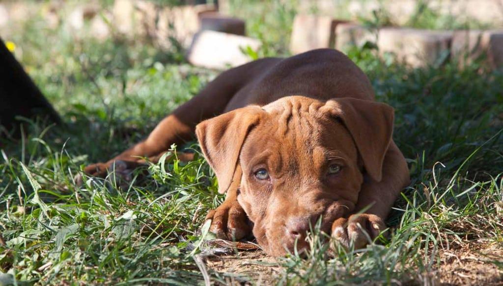 pitbull reserve trudy