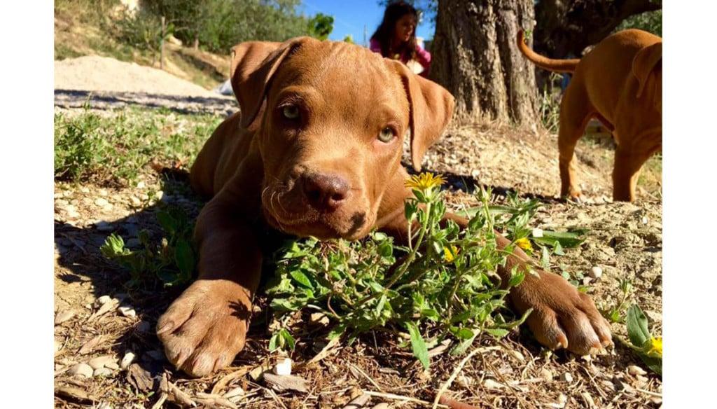 cucciolo pit bull cioccolato Aaron