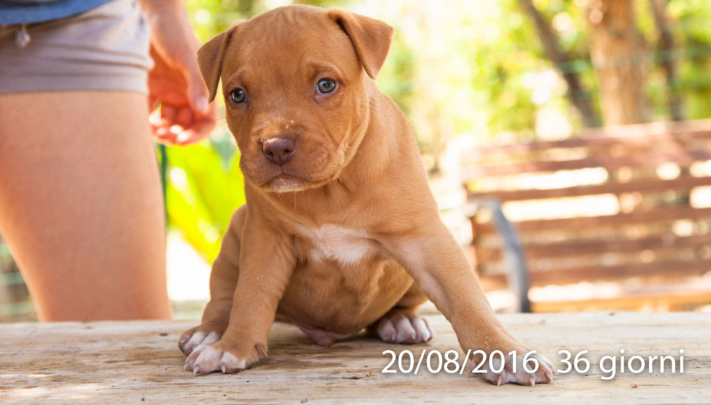 cucciolo american pit bull terrier blue fawn red nos