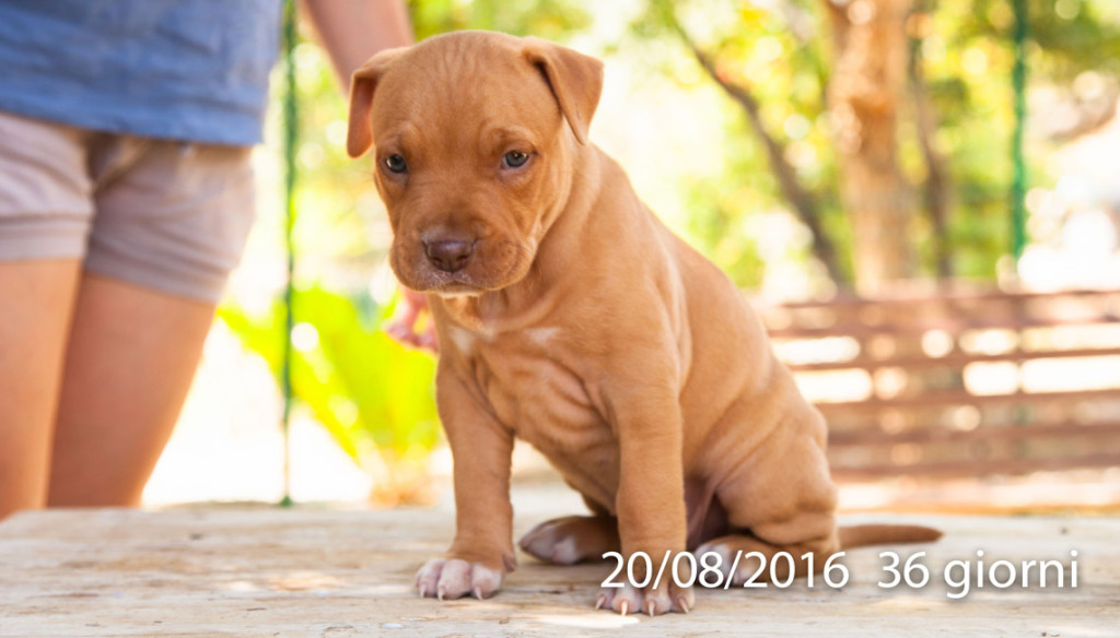 cucciola pit bull blue fawn red nose