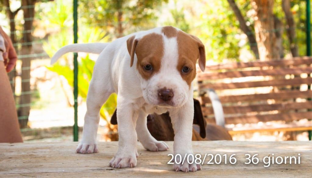 cucciola american pit bull terrier bianca pezzata sugli occhi