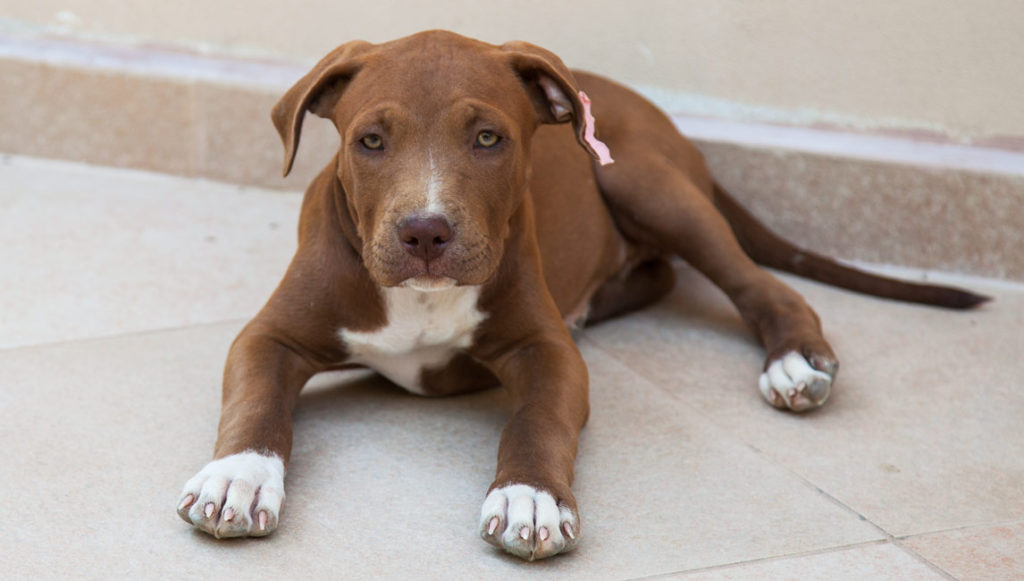 Ares cucciolo american pitbull terrier