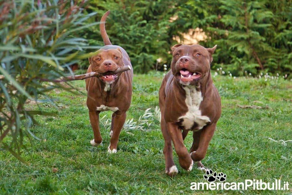 due cani di razza American Pitbull Terrier che giocano e corrono in un prato