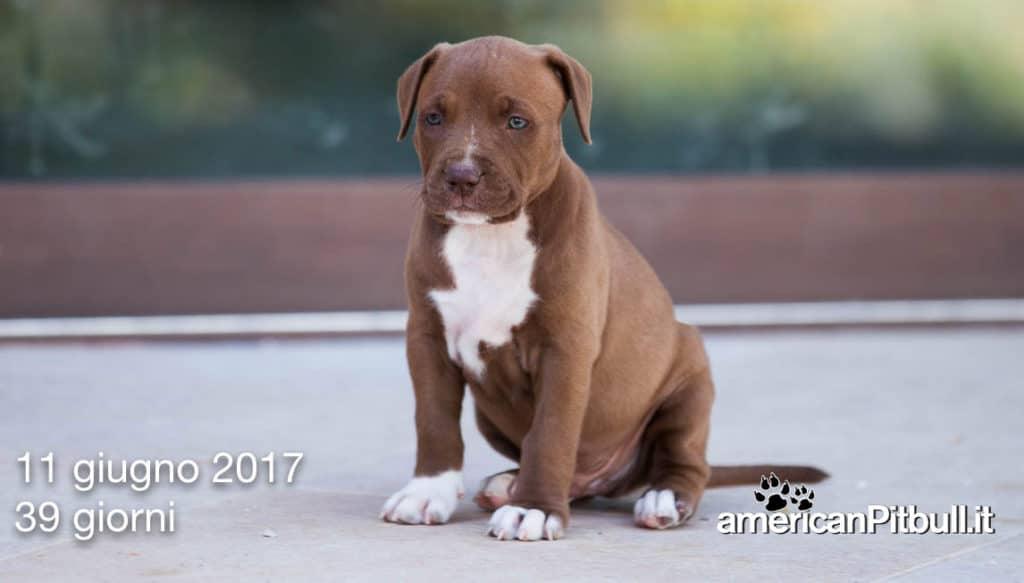 cucciolo american pit bull terrier red nose cioccolato e bianco