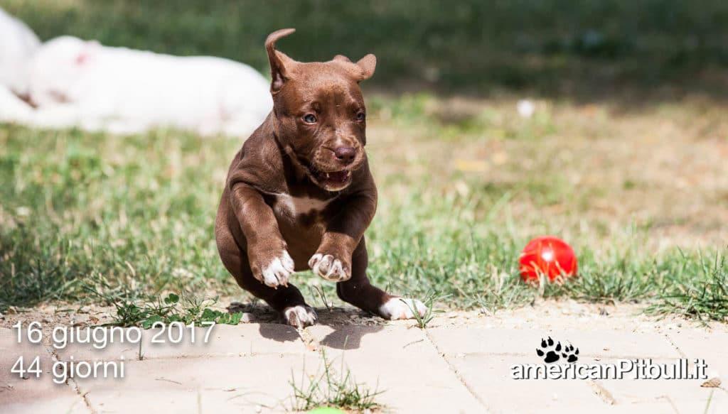 Cucciolo american pitbull femmina 2017