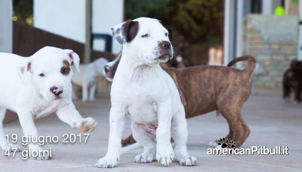 belen cucciola american pit bull terrier