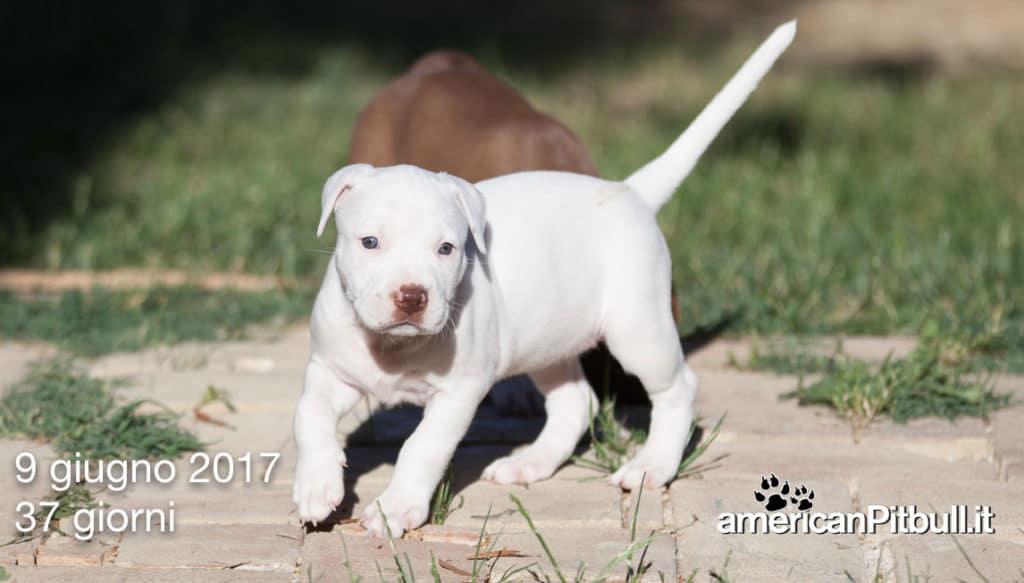 cucciola american pit bull terrier