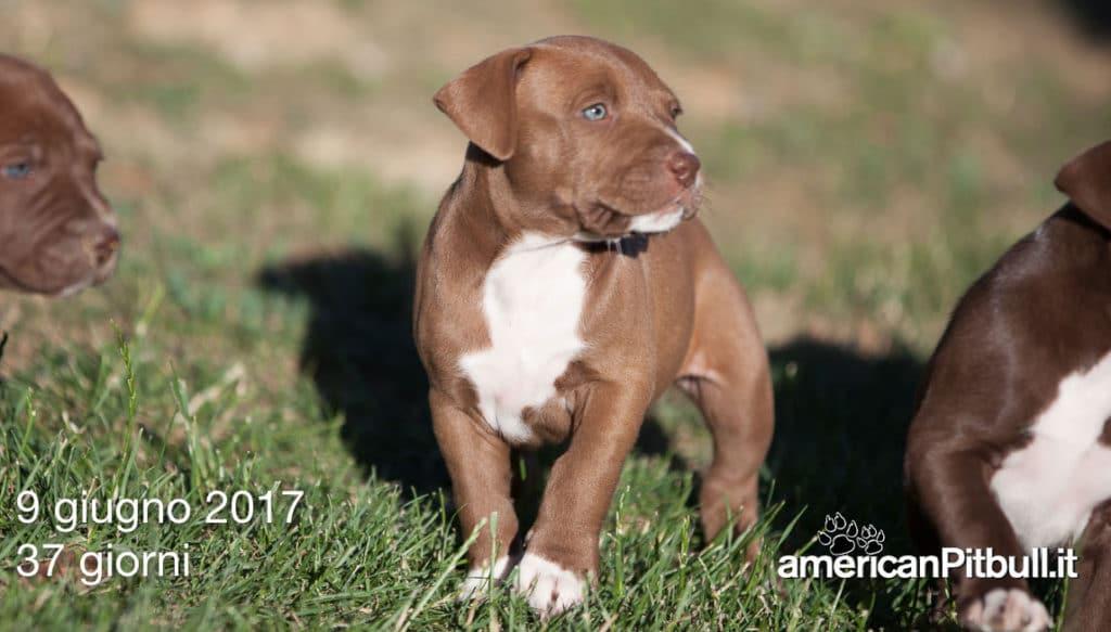 cucciolo pitbull, di Pitbull Reserve