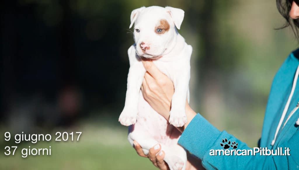 cuccioli-pitbull-2017-6727
