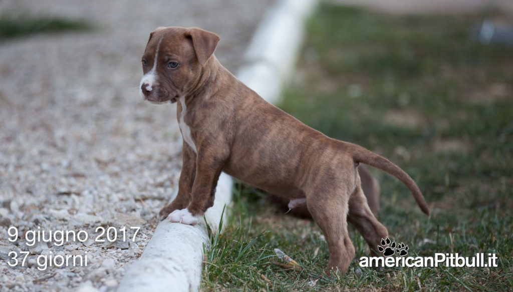 cucciolo american pit bull terrier red nose